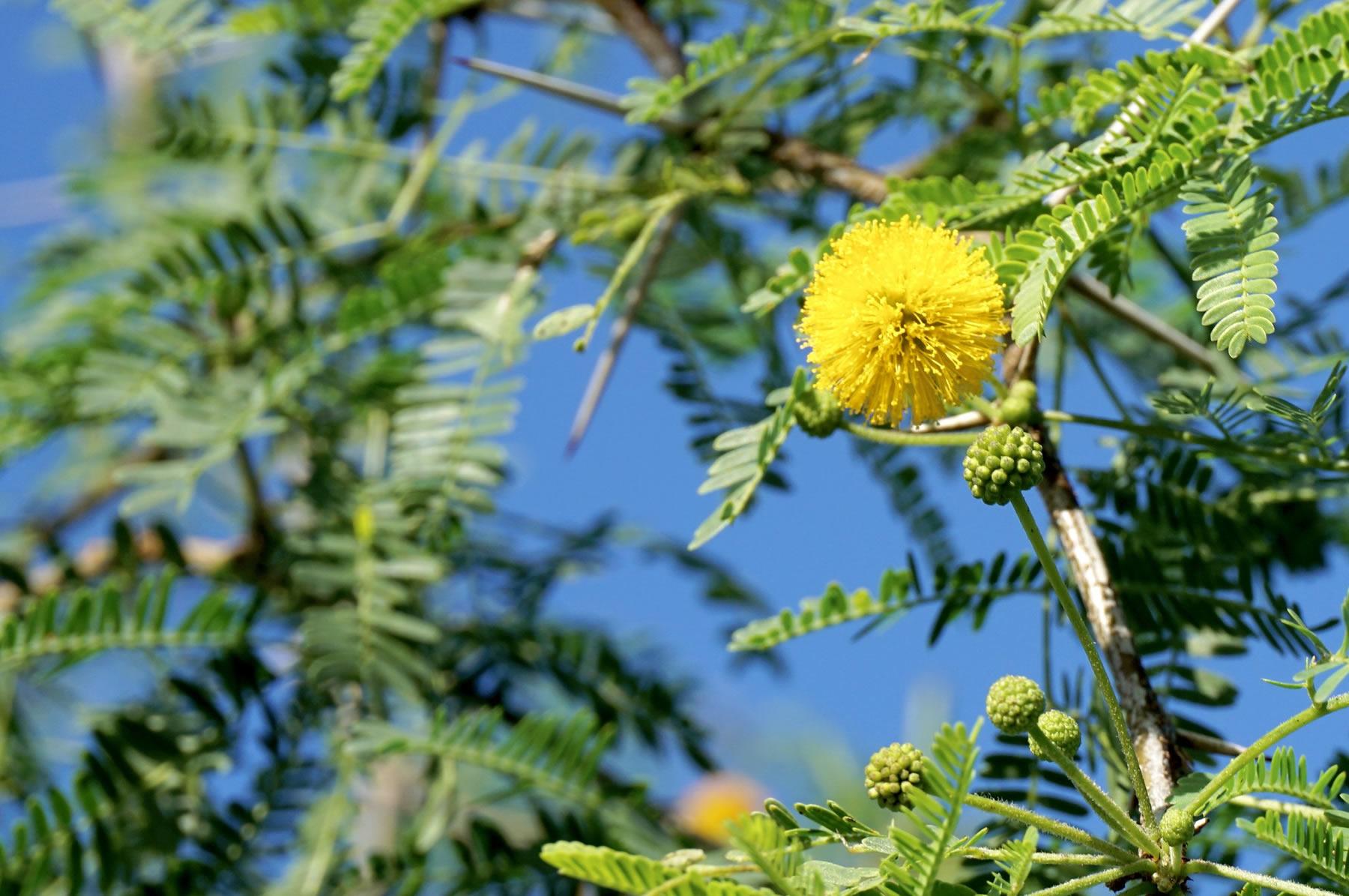 Acacia_farnesiana_3_TreeWorldWholesale